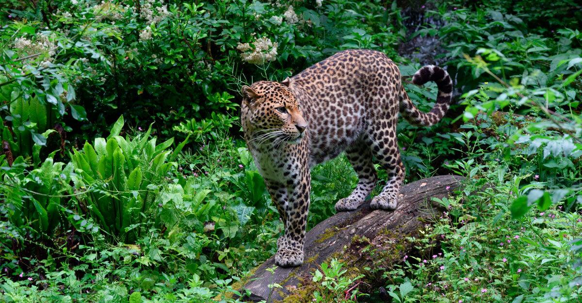 bioparc-parc-zoologique-leopard-java