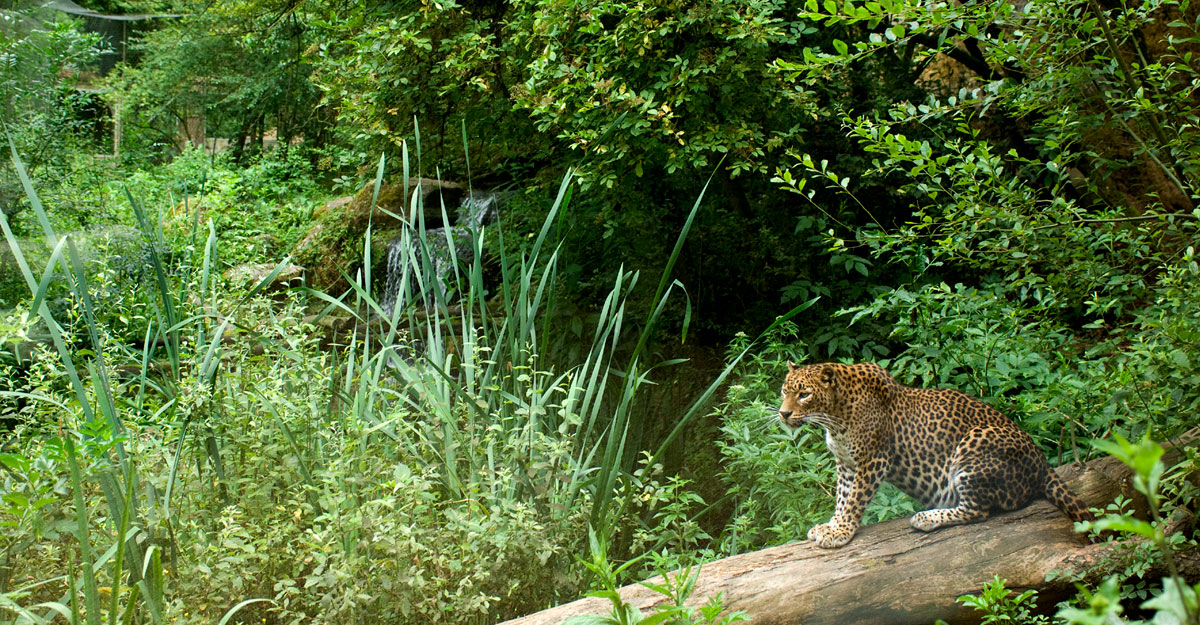 bioparc-parc-zoologique-leopard-sri-lanka