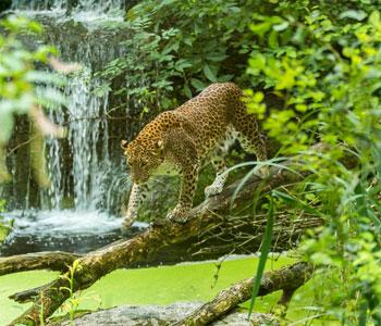 bioparc-parc-zoologique-leopard-srilanka