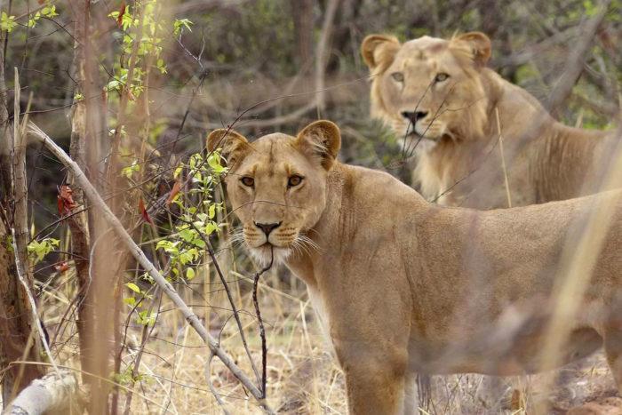bioparc-parc-zoologique-lion-niger