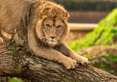 bioparc-parc-zoologique-lion-sur-un-tronc