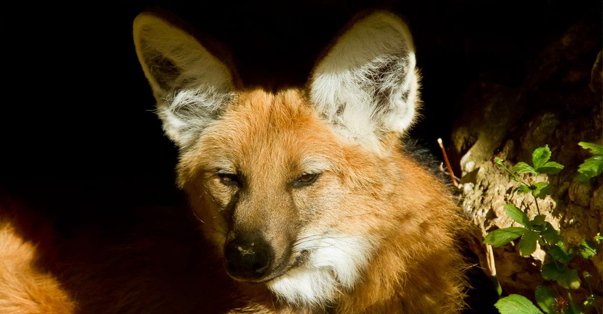 bioparc-parc-zoologique-loup-criniere