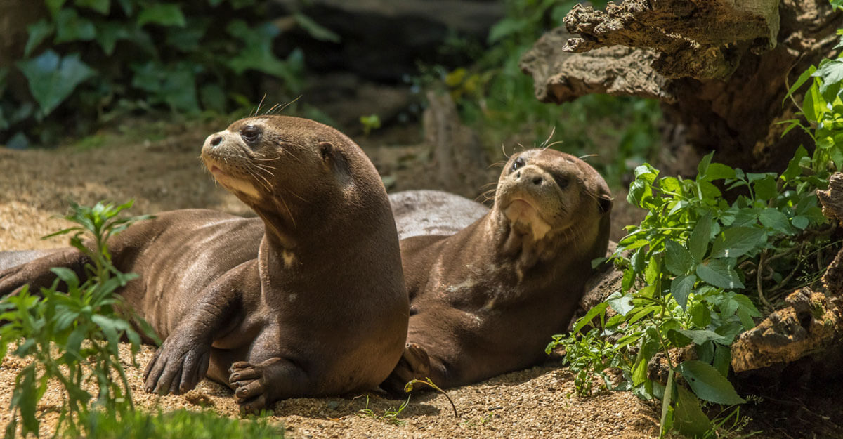 bioparc-parc-zoologique-loutre-geante