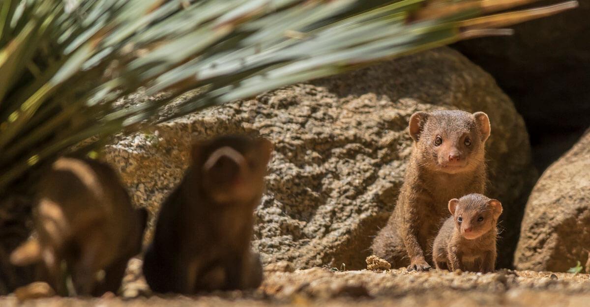 bioparc-parc-zoologique-mangouste-naine