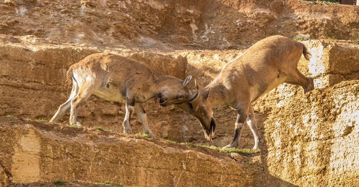 bioparc-parc-zoologique-bouquetin-markhor