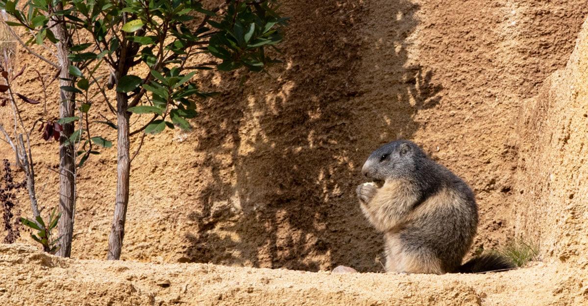 bioparc-parc-zoologique-marmotte-alpes