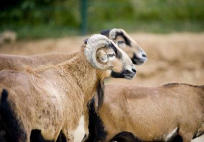 bioparc-parc-zoologique-mouton-cameroun
