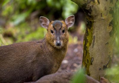 bioparc-parc-zoologique-muntjac-reeves