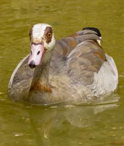 bioparc-parc-zoologique-oie-egypte