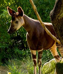 bioparc-parc-zoologique-okapi