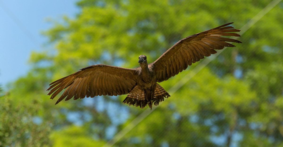 bioparc-parc-zoologique-ombrette-africaine