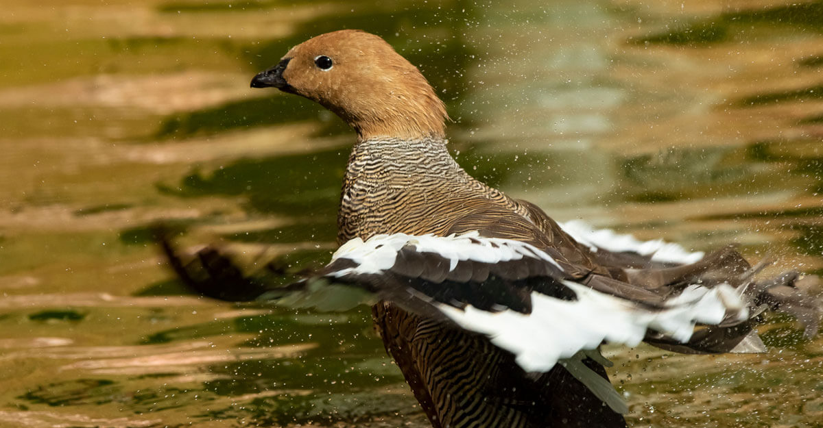 bioparc-parc-zoologique-ouette-tete-rousse