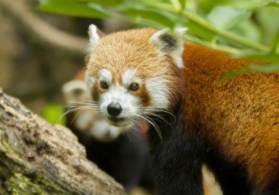 bioparc-parc-zoologique-panda-roux