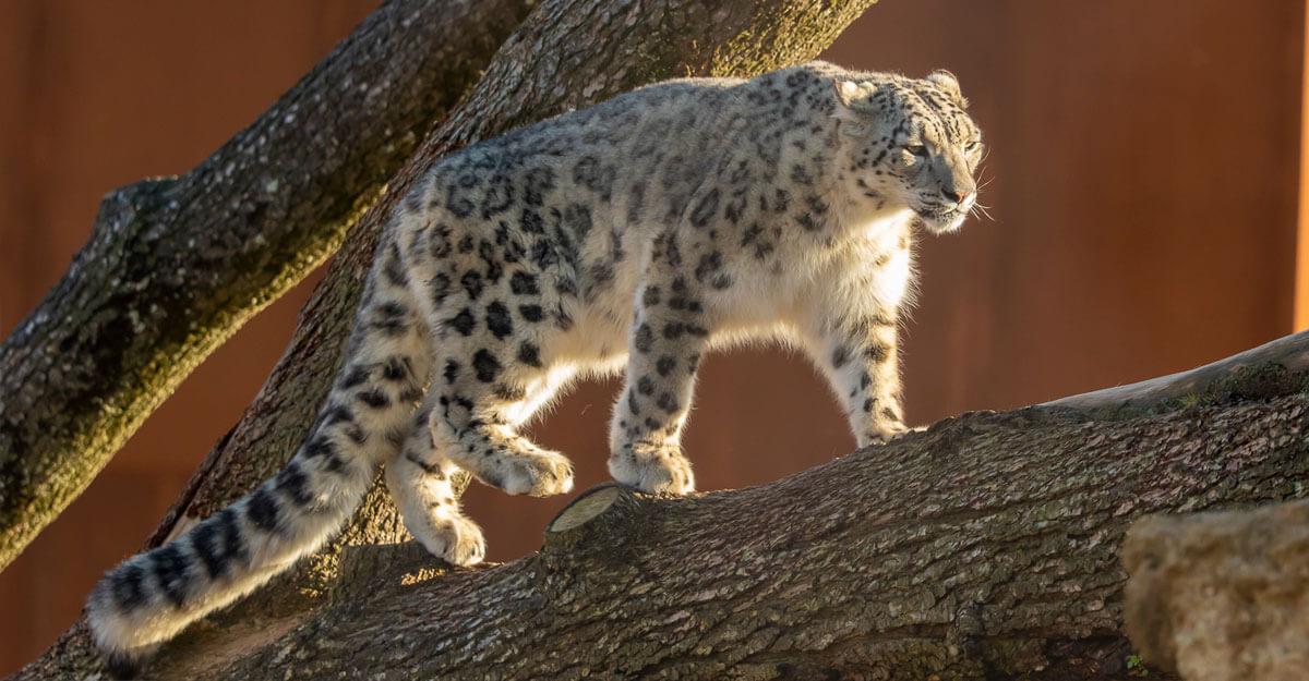 bioparc-parc-zoologique-panthere-neiges