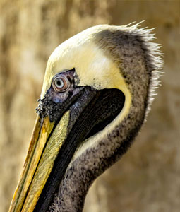 bioparc-parc-zoologique-pelican-thage