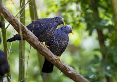 bioparc-parc-zoologique-pigeon-des-olives