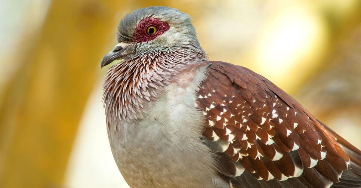 bioparc-parc-zoologique-pigeon-guinee