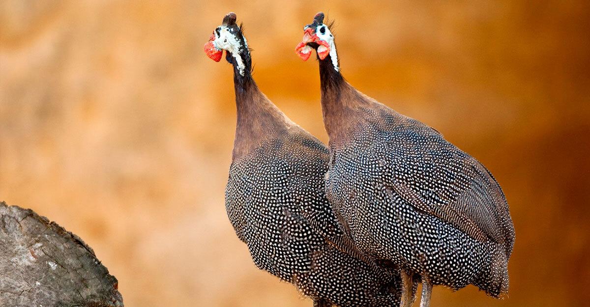 bioparc-parc-zoologique-pintade-numidie