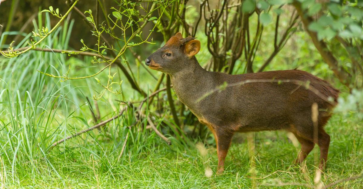 bioparc-parc-zoologique-pudu-chili
