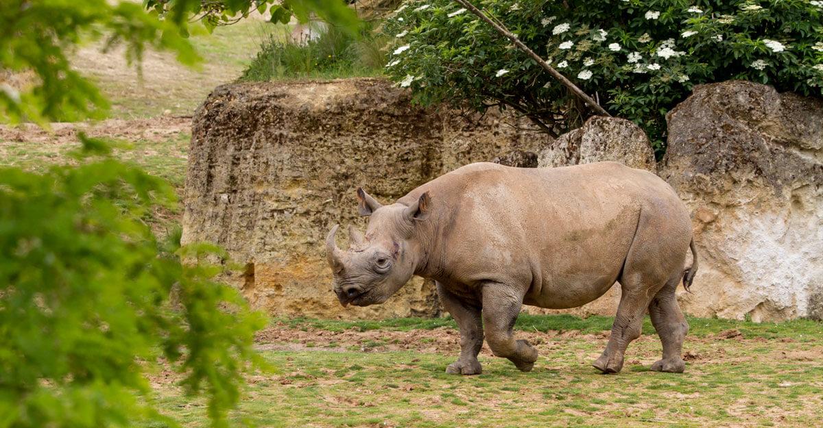 bioparc-parc-zoologique-rhinoceros-noir