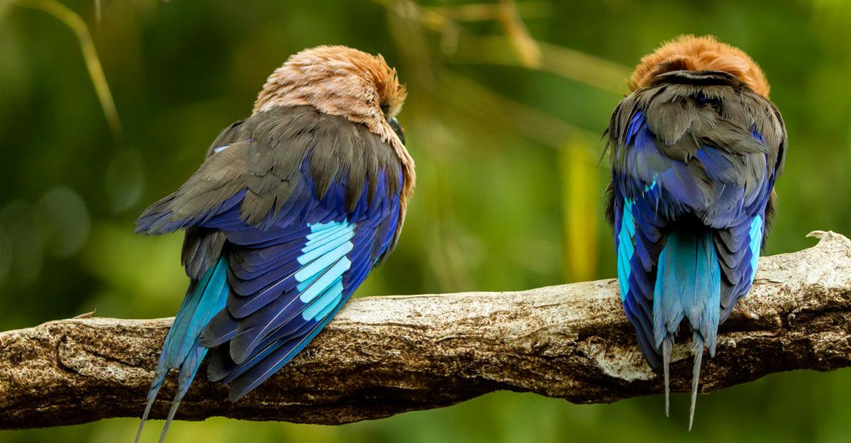 bioparc-parc-zoologique-rollier-ventre-bleu