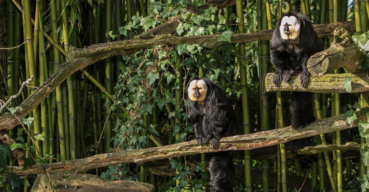 bioparc-parc-zoologique-saki-face-blanche