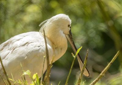 bioparc-parc-zoologique-spatule-blanche