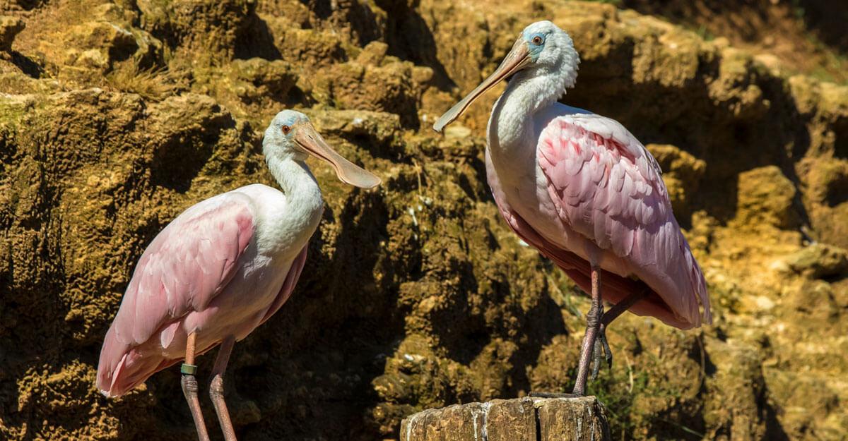 bioparc-parc-zoologique-spatule-rose