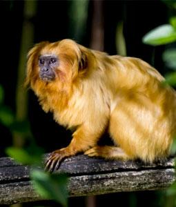 bioparc-parc-zoologique-tamarin-lion