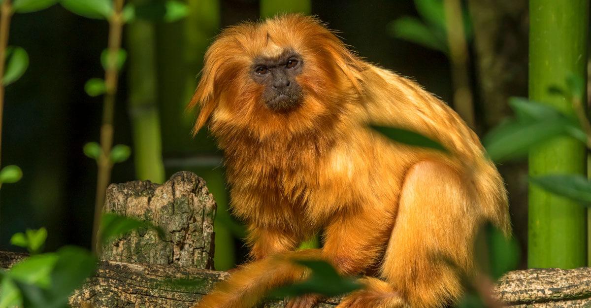 bioparc-parc-zoologique-tamarin-lion-dore