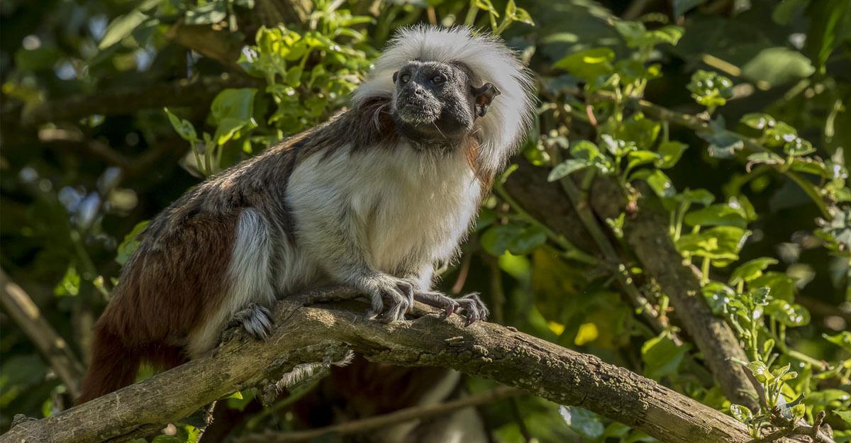 bioparc-parc-zoologique-tamarin-pinché