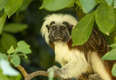 bioparc-parc-zoologique-tamarin-pinche