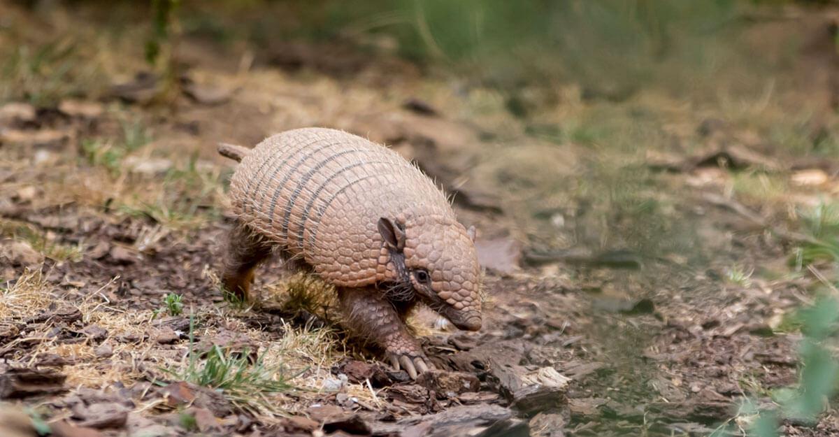 bioparc-parc-zoologique-tatou