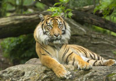 bioparc-parc-zoologique-tigre-sumatra
