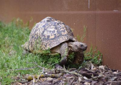 bioparc-parc-zoologique-tortue-leopard