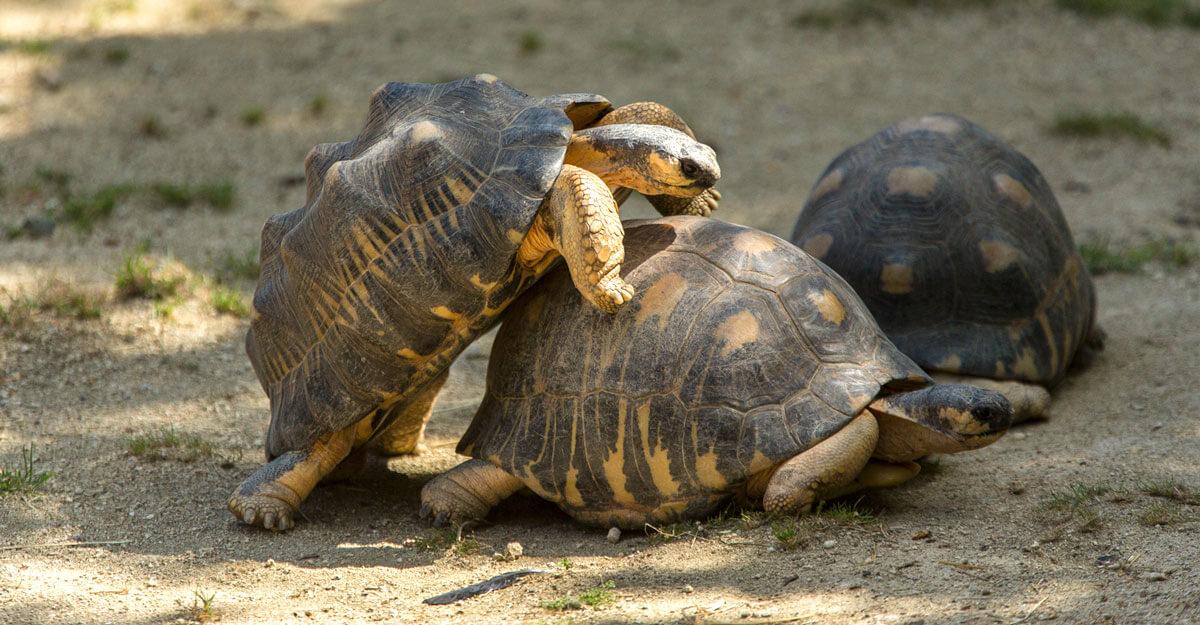 bioparc-parc-zoologique-tortue-radiee