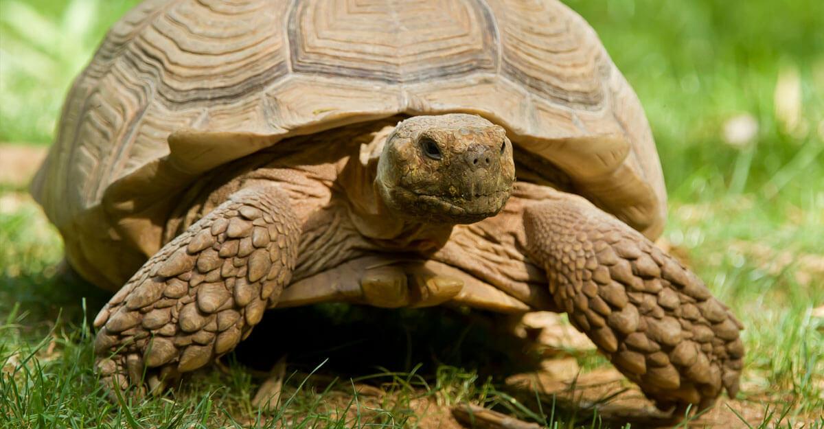 bioparc-parc-zoologique-tortue-sillonnee