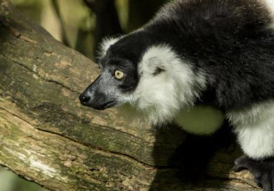bioparc-parc-zoologique-vari-ceinture-blanche