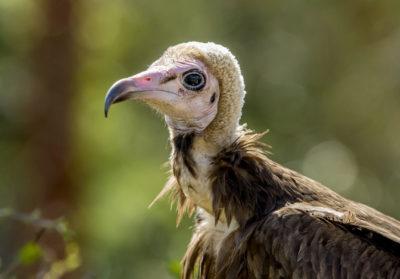 bioparc-parc-zoologique-vautour-capuchon