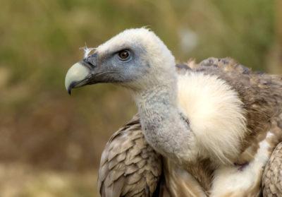 bioparc-parc-zoologique-vautour-fauve