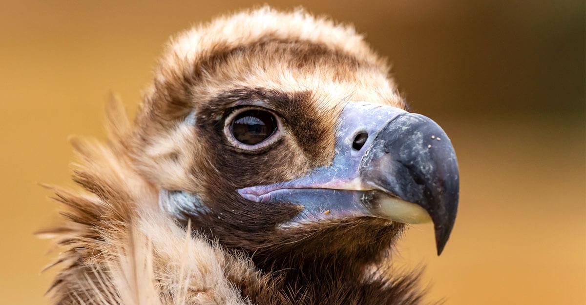 bioparc-parc-zoologique-vautour-moine