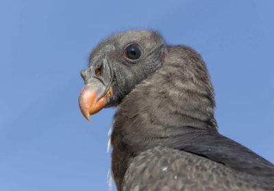 bioparc-parc-zoologique-vautour-pape