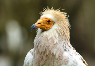bioparc-parc-zoologique-vautour-percnoptere