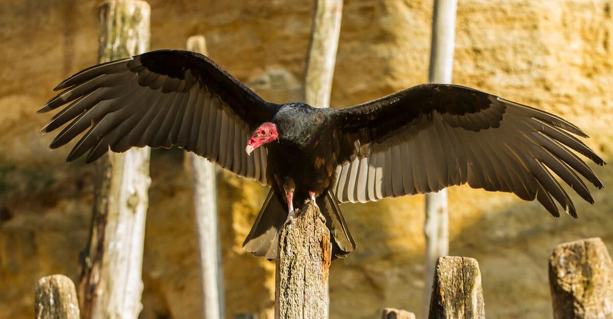 bioparc-parc-zoologique-vautour-tete-rouge