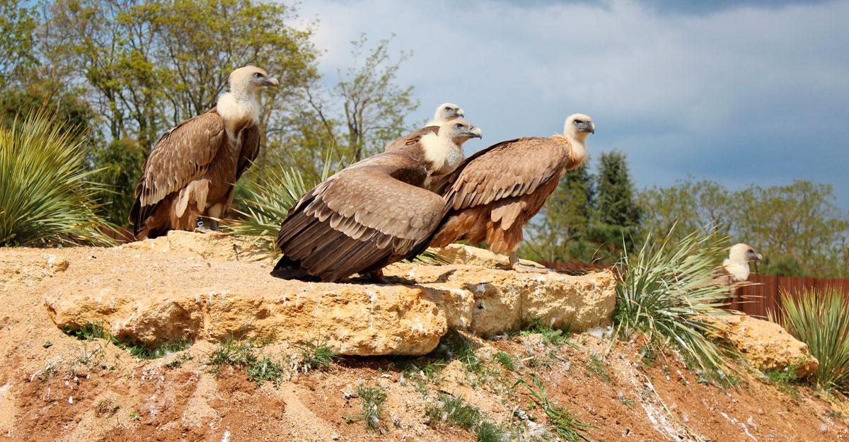 bioparc-parc-zoologique-vautours-fauves