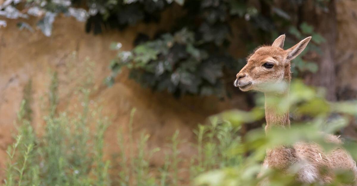 bioparc-parc-zoologique-vigogne