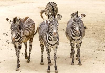 bioparc-parc-zoologique-zebre-grevy