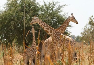 bioparc-projet-nature-girafe-niger-ASGN