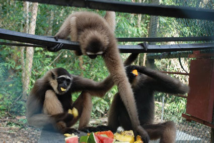 Bioparc-parc-zoologique-projet-nature-gibbon-4