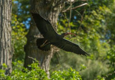 Bioparc-parc-zoologique-projet-nature-ibis